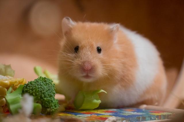 Prendre soin d'un hamster russe