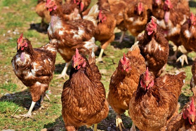 Qu'y a-t-il dans votre poulet ?